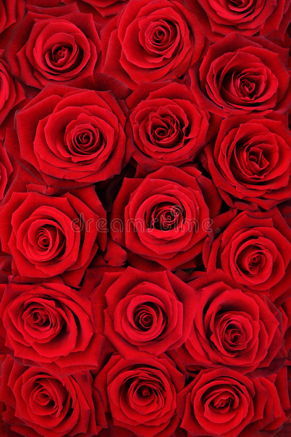 Rote Rosen. stockfotografie