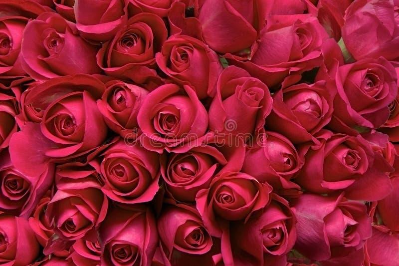 Rote Rosen als Hintergrund lizenzfreie stockbilder