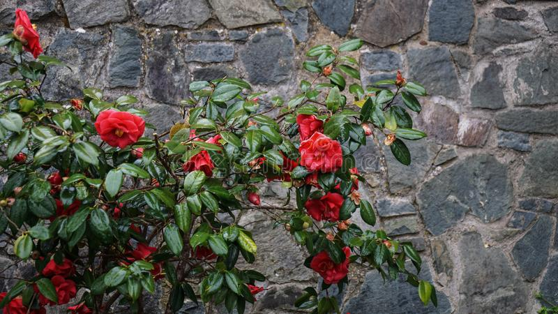 Rote Rosen auf Bush gegen eine Steinwand lizenzfreies stockfoto