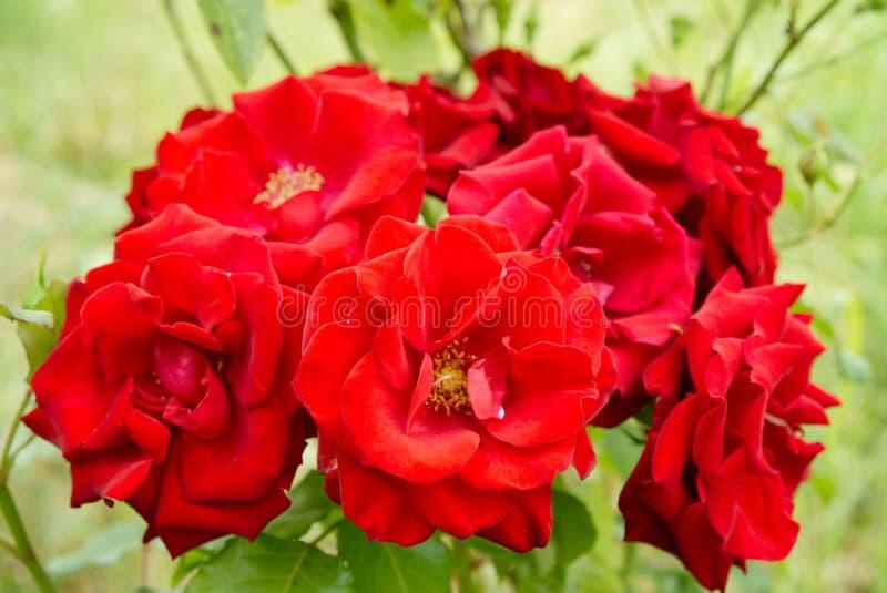 Rote Rosen auf dem Gartenbusch lizenzfreie stockfotos