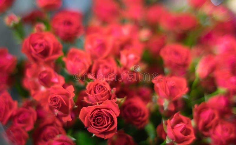 Rote Rosen auf unscharfem Hintergrund stockfotos
