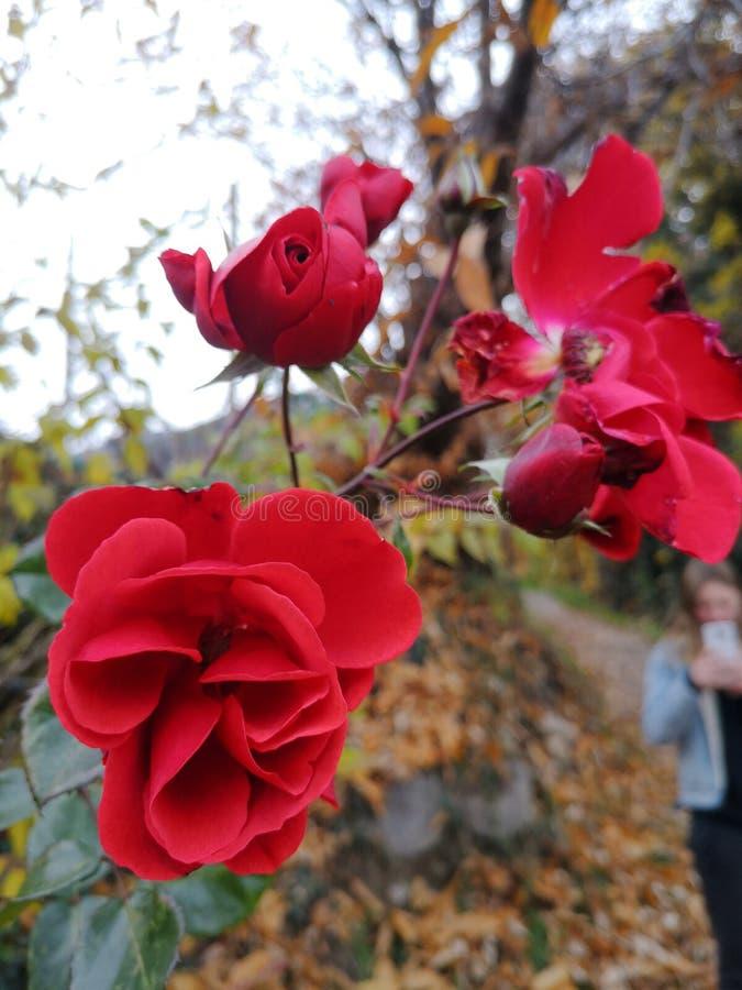 Rote Rosen in der Wildnis stockbild