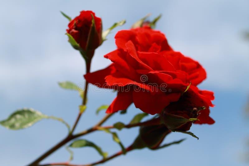 Rote Rosen des Samts in der Sonne Kamera: Nikon F-301, AIS 28/2 stockfotos