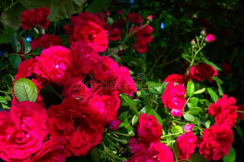 Rote Rosen, die in einem Garten klettern lizenzfreie stockfotos