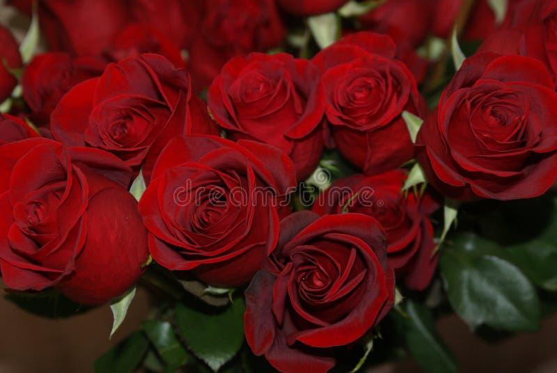 Rote Rosen für reizende Frauen stockfoto