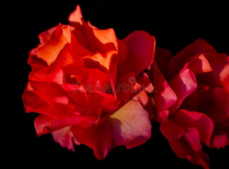 Rote Rosen gegen schwarzen Hintergrund lizenzfreies stockfoto