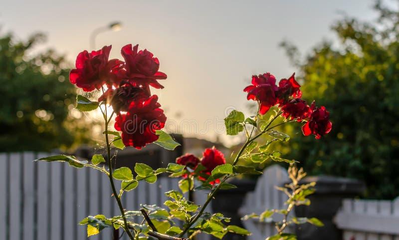 Rote Rosen gegen Sommerabendsonne lizenzfreie stockfotografie
