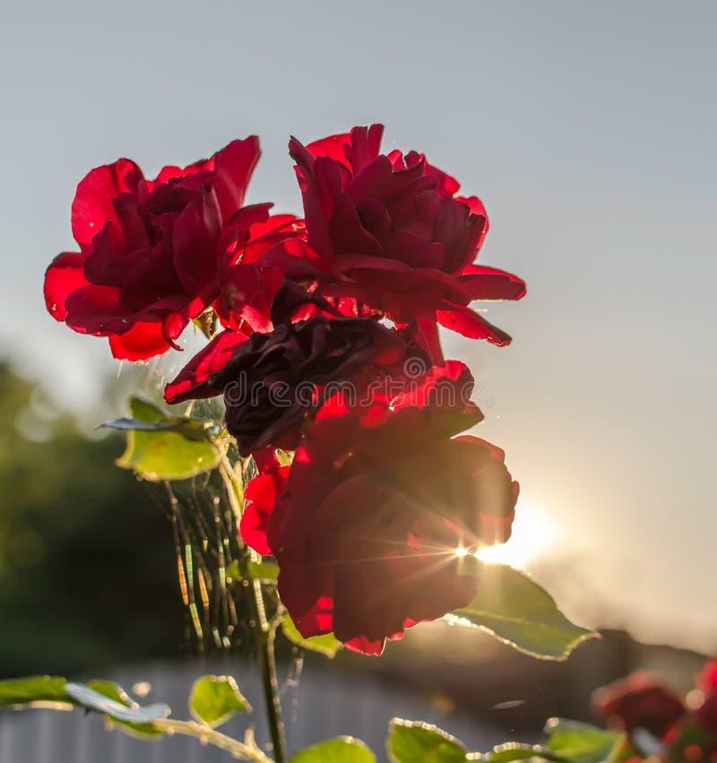 Rote Rosen gegen Sommerabendsonne lizenzfreies stockfoto