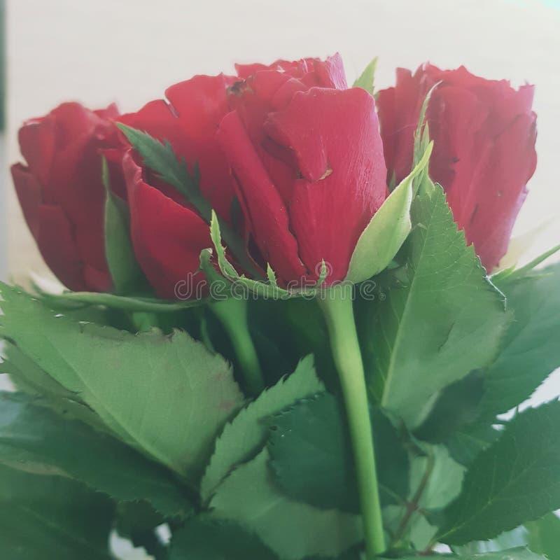 Rote Rosen grünen Blätter lizenzfreies stockbild