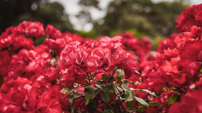 Rote Rosen im Garten stockfotos