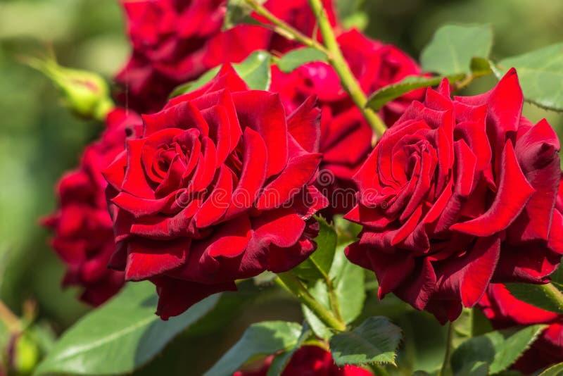 rote rosen im garten abschluss oben stockfoto bild von frische strahl 61089754. Black Bedroom Furniture Sets. Home Design Ideas