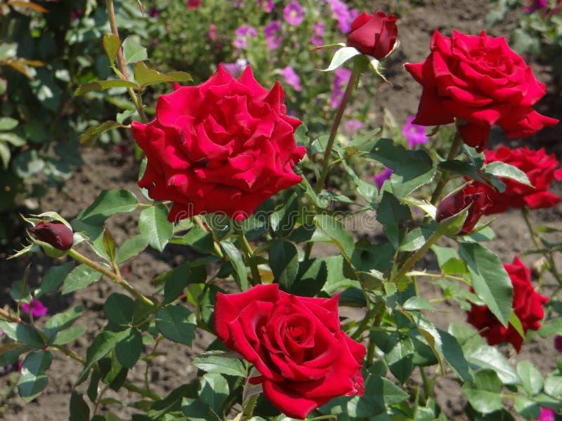 Rote ROSEN - KÖNIGIN des GARTENS lizenzfreies stockfoto