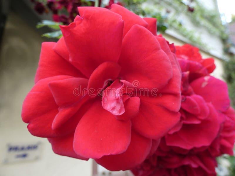 Rote Rosen müssen nicht perfekt sein stockfotos