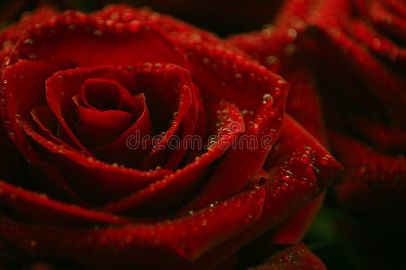 Rote Rosen mit kleinen Wassertropfen stockbilder