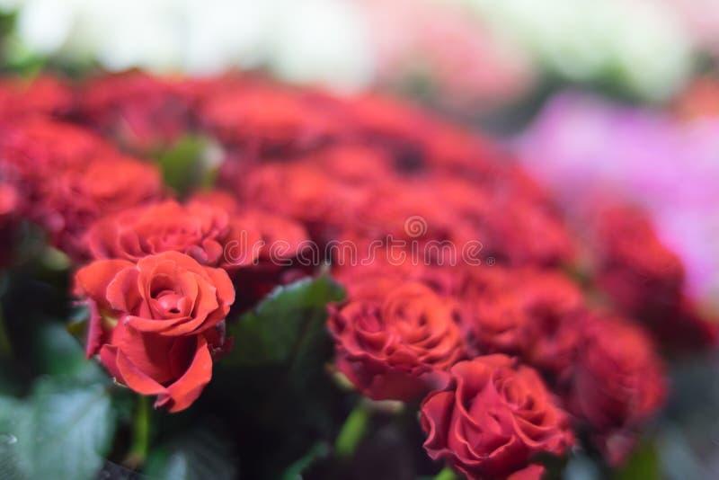 Rote Rosen mit unscharfem Hintergrund lizenzfreies stockbild