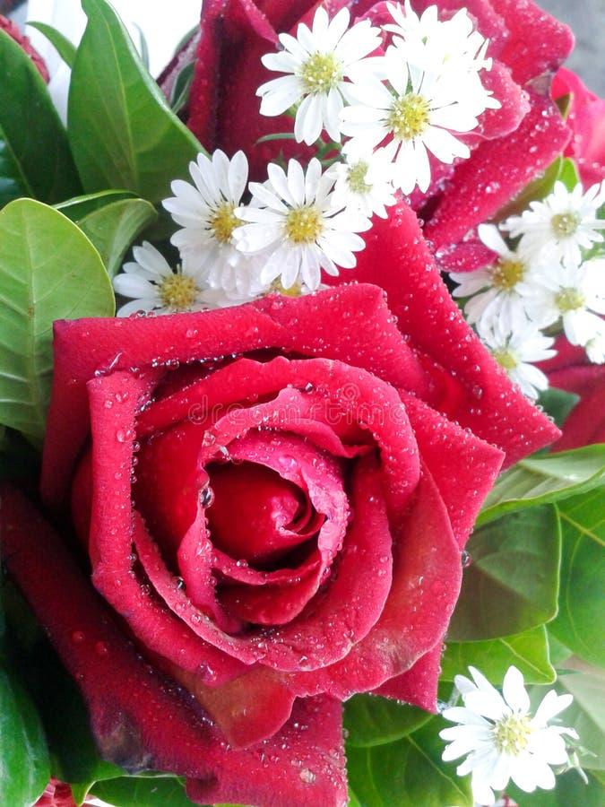 Rote Rosen Und Kleine Weiße Blumen Stockfoto - Bild von verbindung ...