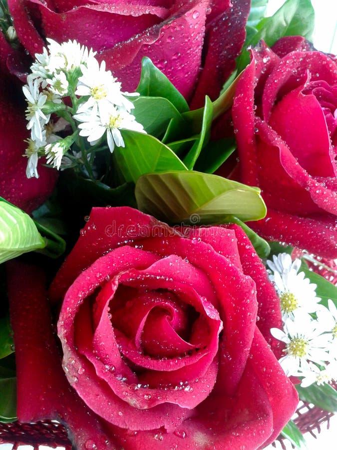 Rote Rosen Und Kleine Weiße Blumen Stockfoto - Bild von schön, blüte ...