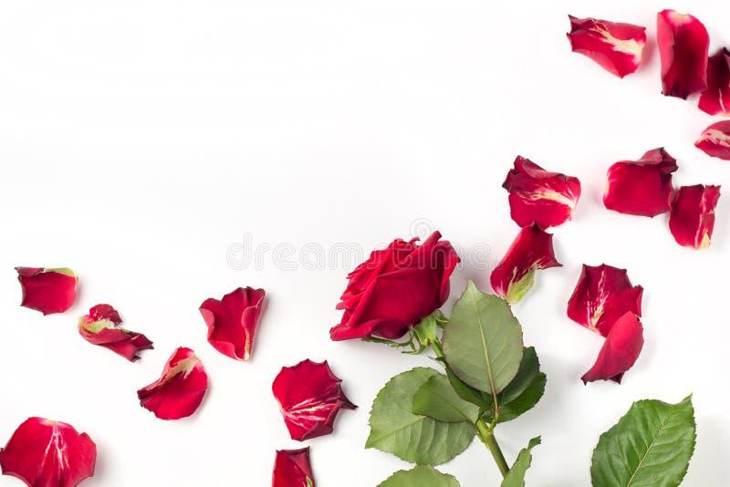Rote Rosen und rosafarbene Blumenblätter lokalisiert auf Weiß lizenzfreies stockfoto