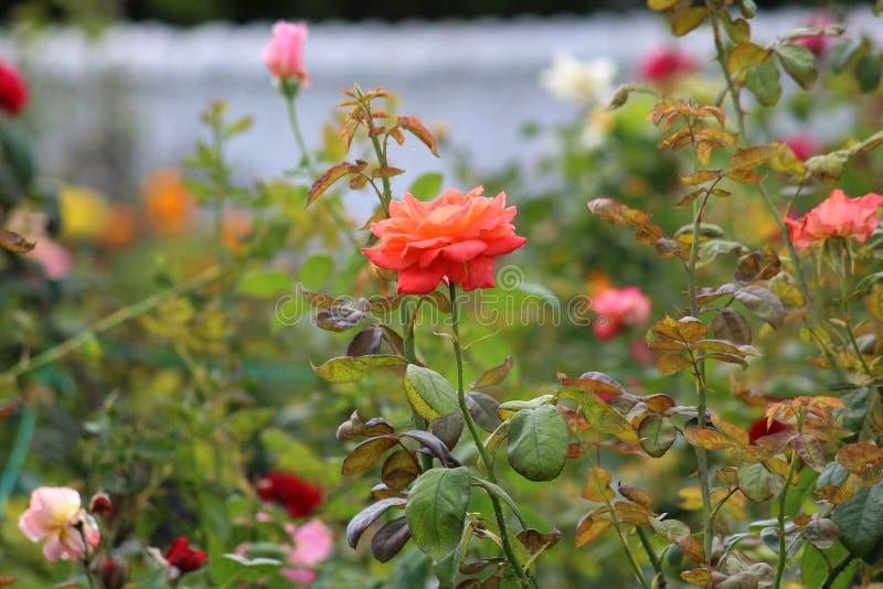 Rote Rosen-` Zeichen von Liebe ` lizenzfreies stockfoto