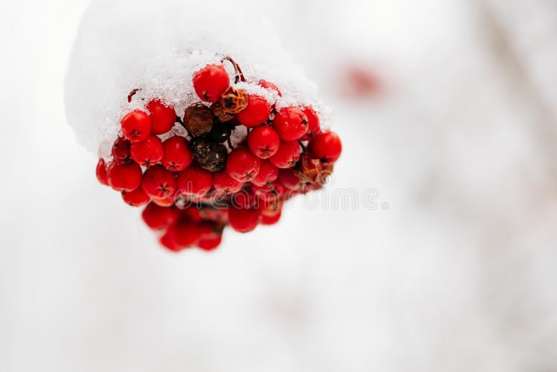 Rote Rowan im Winter nah stockfotografie