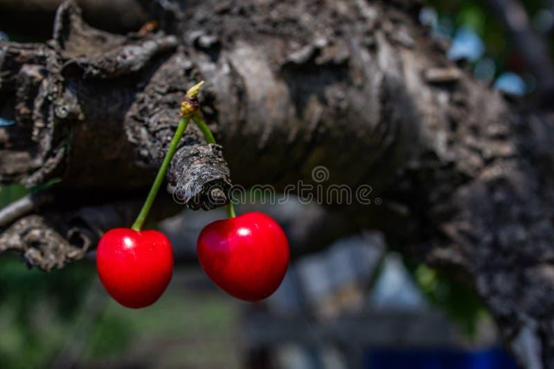 Rote süße Kirsche, die an einer Niederlassung hängt stockfoto