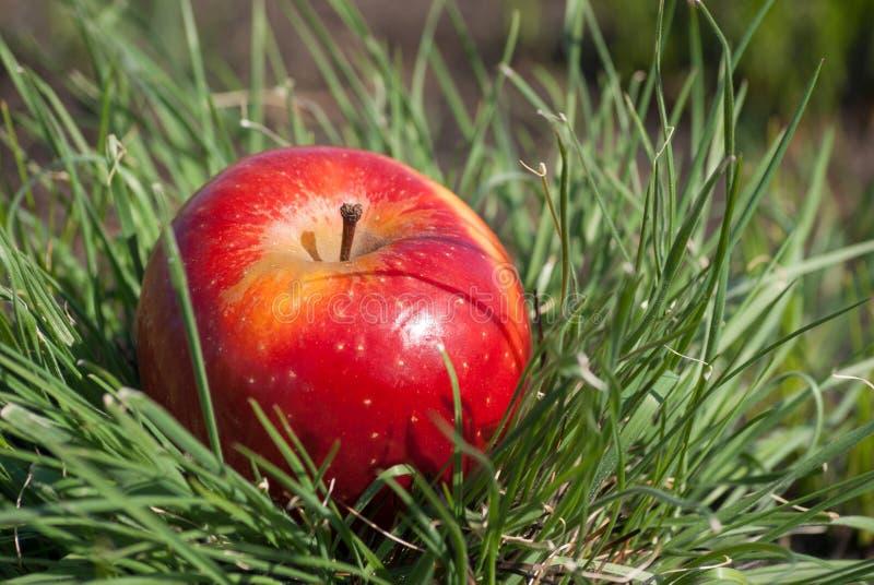 Rote saftige feste Apfelfrucht, die unter Sonnenlicht auf grünem Gras liegt Konzept der organischen gesunden Lebensmitteldiät der lizenzfreie stockbilder