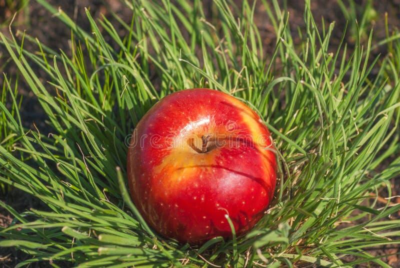 Rote saftige feste Apfelfrucht, die unter Sonnenlicht auf grünem Gras liegt Konzept der organischen gesunden Lebensmitteldiät der stockfotos