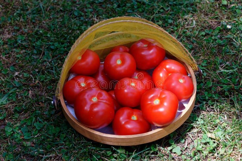 Rote, saftige Tomaten w?hlten frisch vom Garten, in einem Korb aus lizenzfreie stockbilder