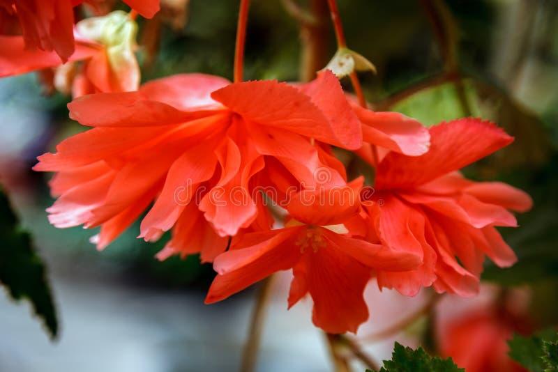 Rote schleppende Begonienblumen in der Blüte in Neuseeland stockfotografie