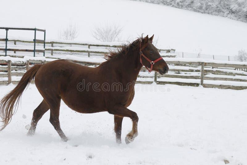 Rote schwere Pferdelack-läufer galoppieren in Winter stockbilder