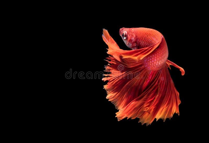 Rote siamesische kämpfende Fische lokalisiert auf Schwarzem lizenzfreies stockfoto