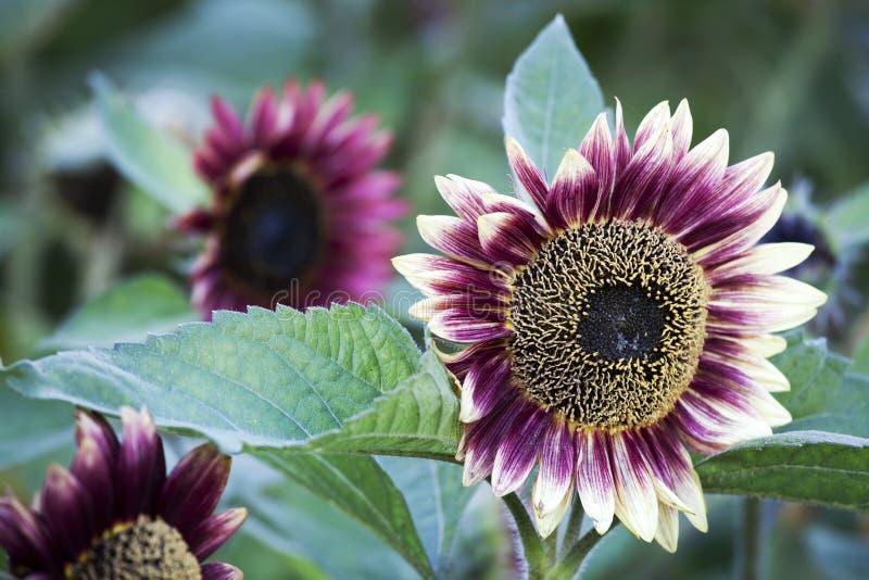 Rote Sonnenblume stockbild