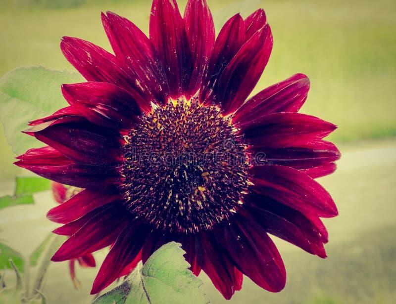 Rote Sonnenblume gegen einen undeutlichen Hintergrund stockfotos