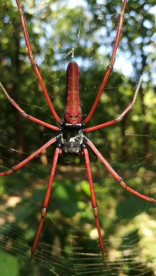Rote Spinne lizenzfreie stockbilder