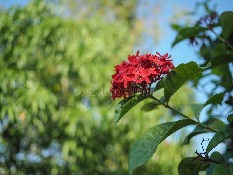 Rote Spitzenblume lizenzfreies stockbild