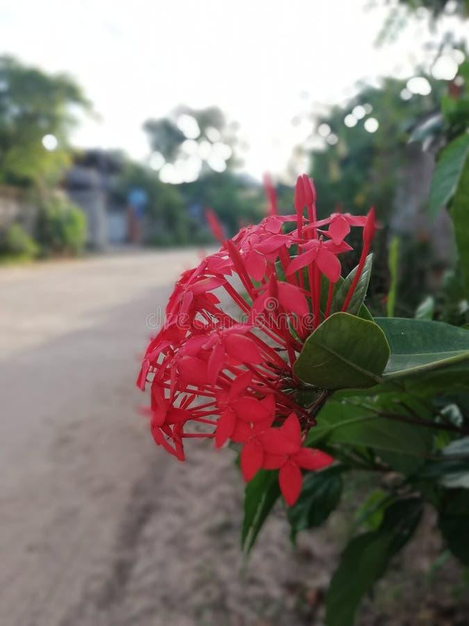 Rote Spitzenblume ist Blüte lizenzfreies stockfoto
