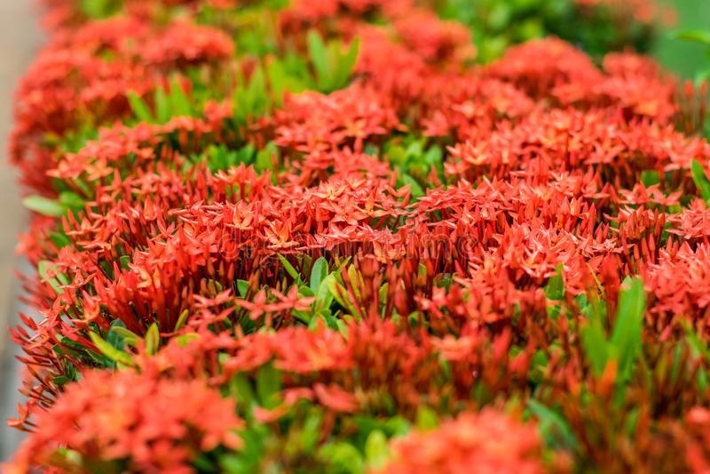Rote Spitzenblume lizenzfreie stockbilder