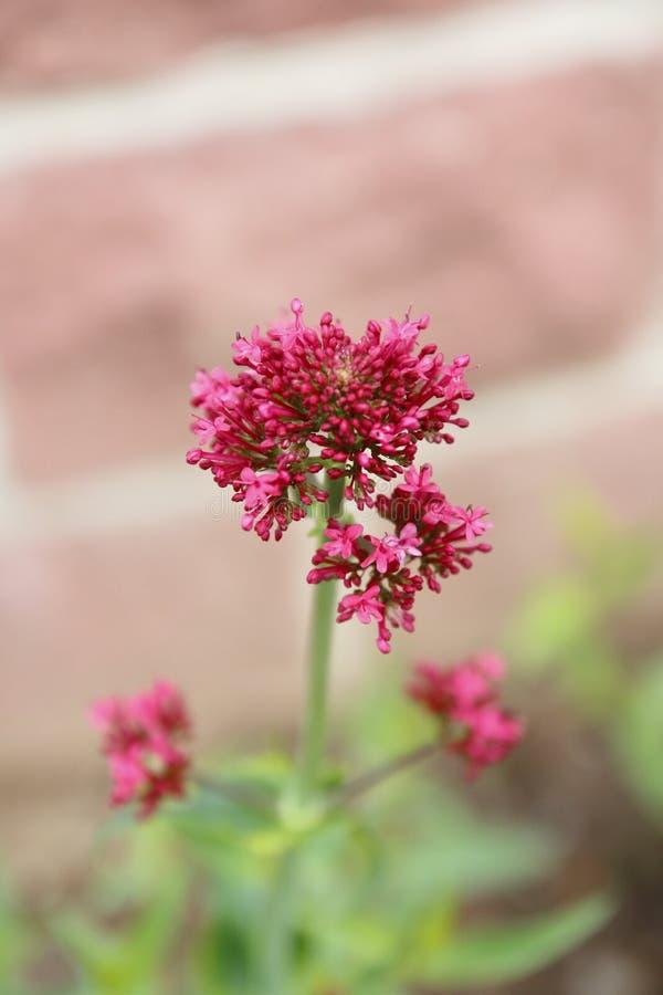 Rote Spornblume, Centranthus ruber, stockbilder