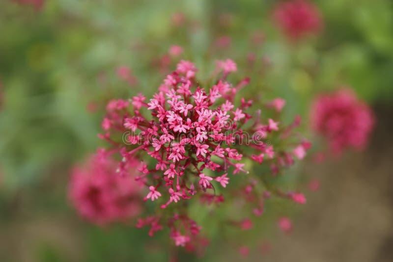 Rote Spornblume, Centranthus ruber, stockfoto