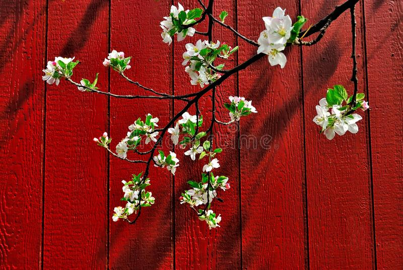 Rote Stall-Apple-Blüten stockfotos