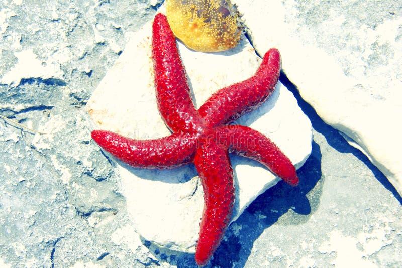 Rote Starfish stockfotos