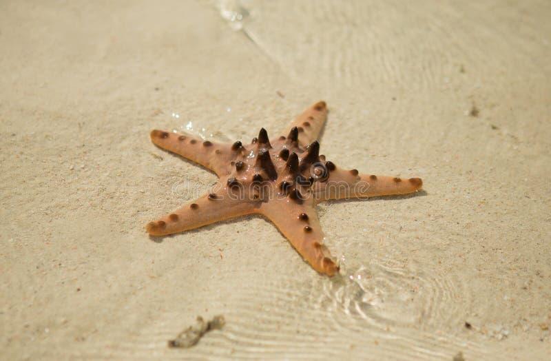 Rote Starfish stockfotografie