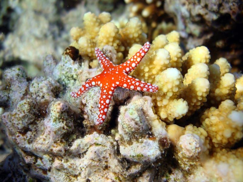 Rote Starfish lizenzfreie stockfotografie