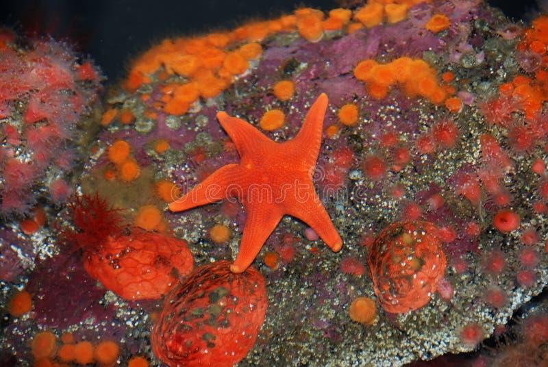 Rote Starfish stockbilder