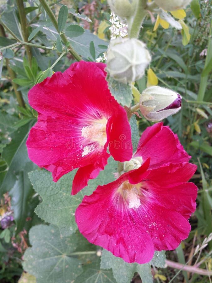 Download Rote Stockroseblume An Einem Sonnigen Sommertag Stockfoto - Bild von blume, knospe: 96928984