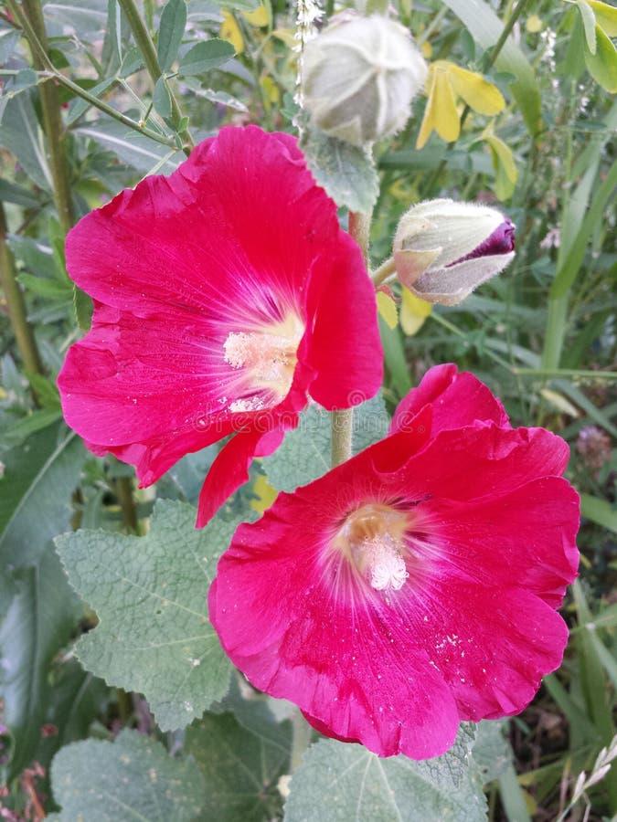 Download Rote Stockroseblume An Einem Sonnigen Sommertag Stockfoto - Bild von schönheit, grün: 96929090