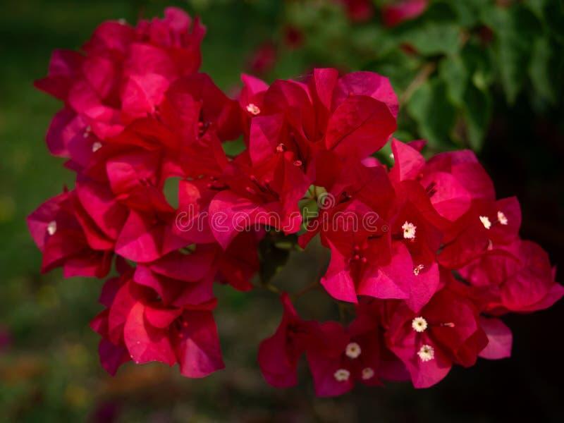 Rote Strauchblumen des Bouganvillas stockbilder