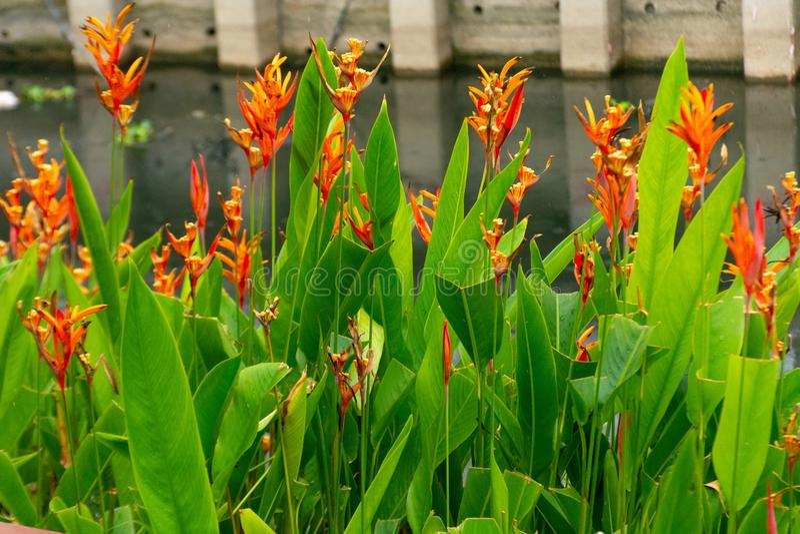 Rote Strelitzia reginae AIT stockfotografie