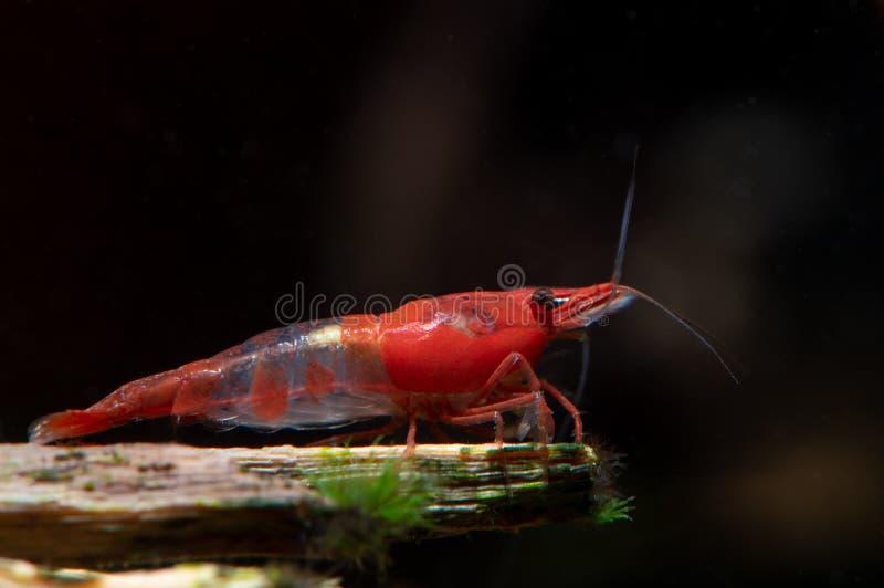 Rote Sushi stellen Garnelenaufenthalt auf Bauholz im Süßwasseraquariumbehälter in den Schatten lizenzfreies stockfoto