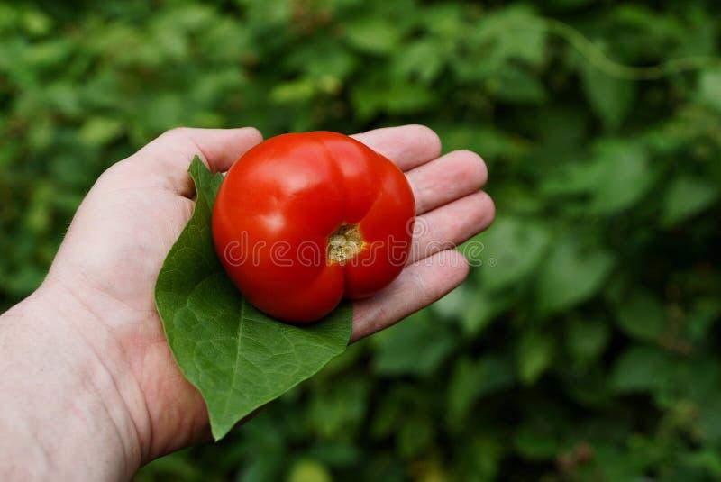 Rote Tomate und grünes Blatt auf einer offenen Palme gegen einen grünen Hintergrund lizenzfreie stockbilder